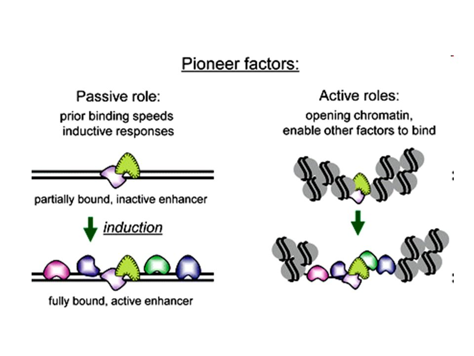 Passive and active roles for pioneer factors in endowing transcriptional competence.
