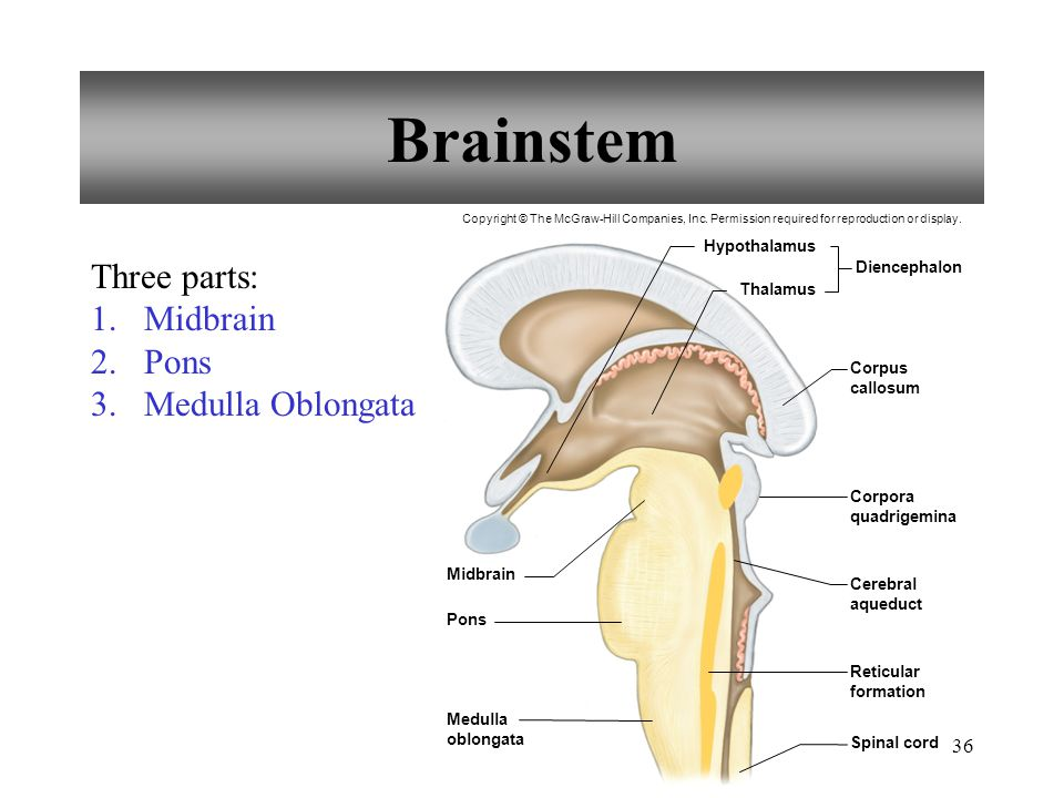 Chapter 11 Nervous System II: Divisions of the Nervous ... Brainstem And Spinal Cord
