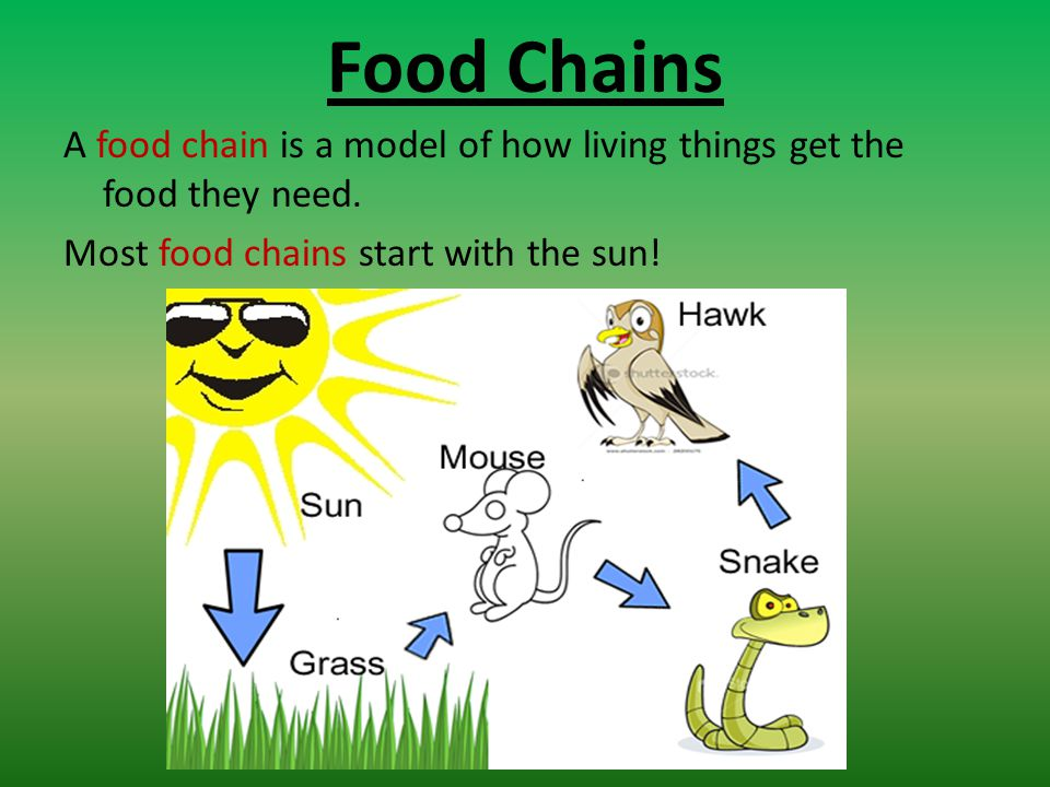 shot essay about food chain Short descriptive paragraph about how this invasive species would disrupt their food chain extensions have students write a short essay or paragraph that explores the impacts humans may have.