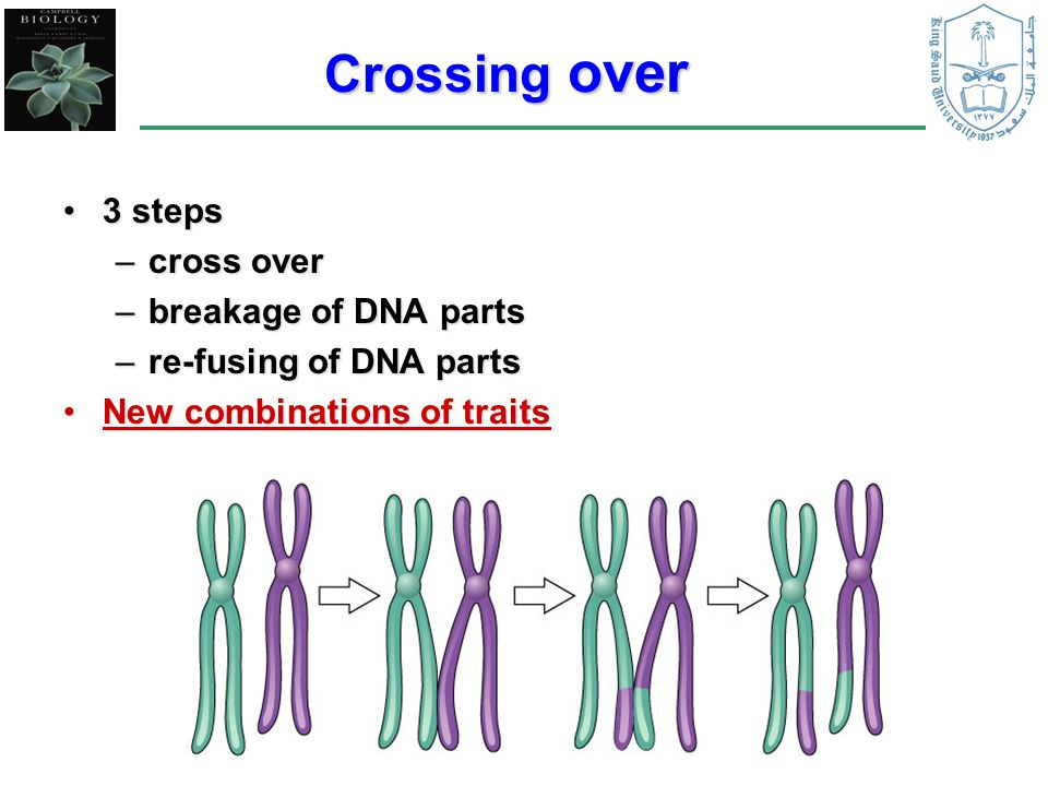 Crossing over 3 steps cross over breakage of DNA parts