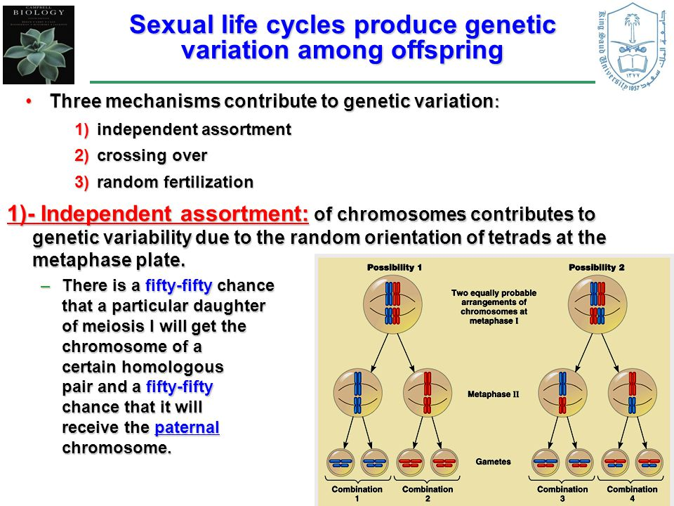 Sexual life cycles produce genetic variation among offspring