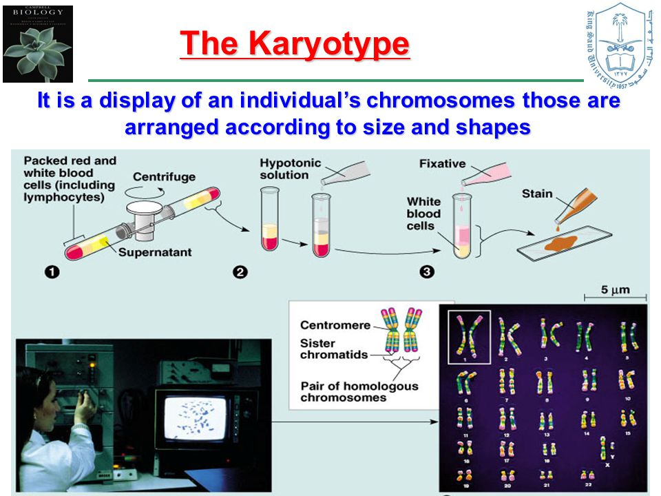 The Karyotype It is a display of an individual's chromosomes those are arranged according to size and shapes.