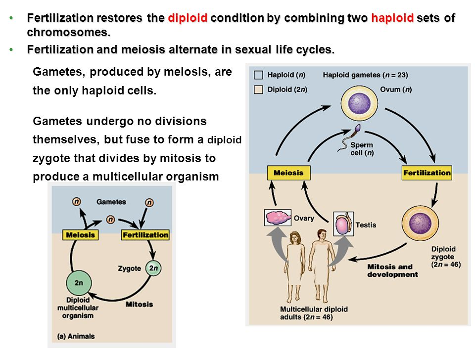 Fertilization restores the diploid condition by combining two haploid sets of chromosomes.