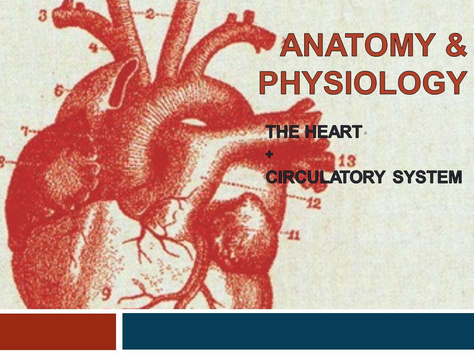 THE HEART + CIRCULATORY SYSTEM - ppt video online download