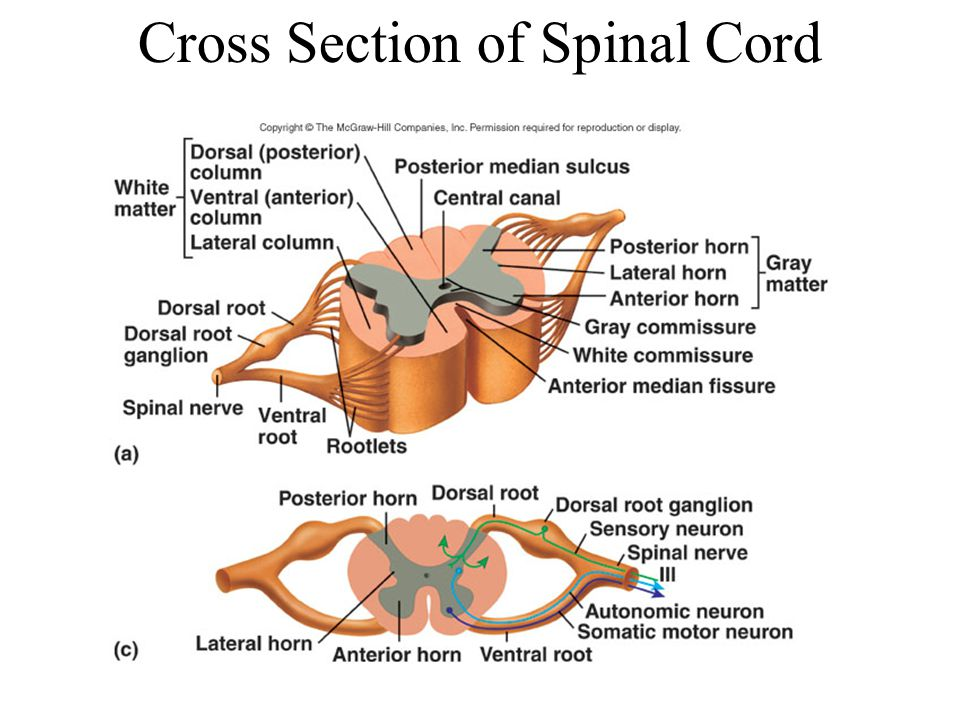 The Nervous System The Spinal Cord Part Of The Cns Found Within The
