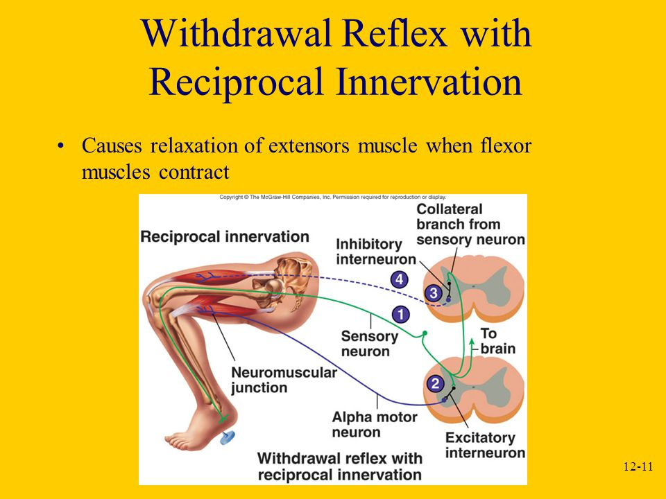 Withdrawal Reflex with Reciprocal Innervation