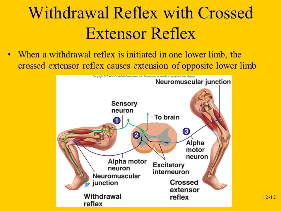 Withdrawal Reflex with Crossed Extensor Reflex