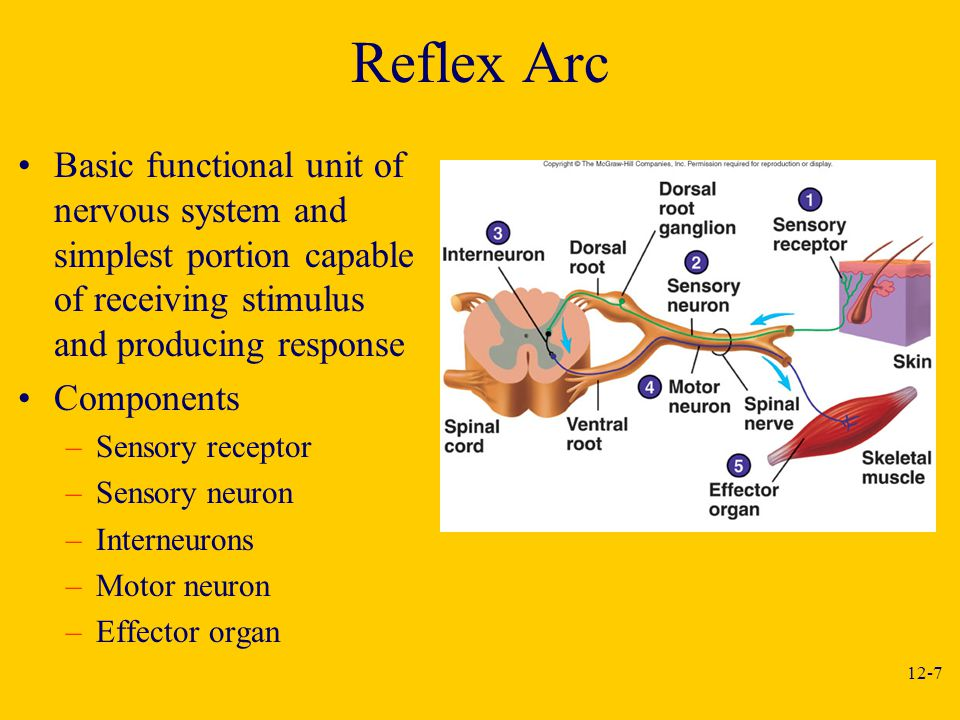 Reflex Arc Basic functional unit of nervous system and simplest portion capable of receiving stimulus and producing response.