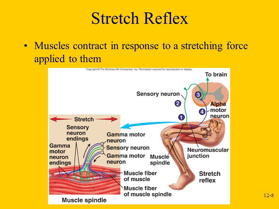Stretch Reflex Muscles contract in response to a stretching force applied to them