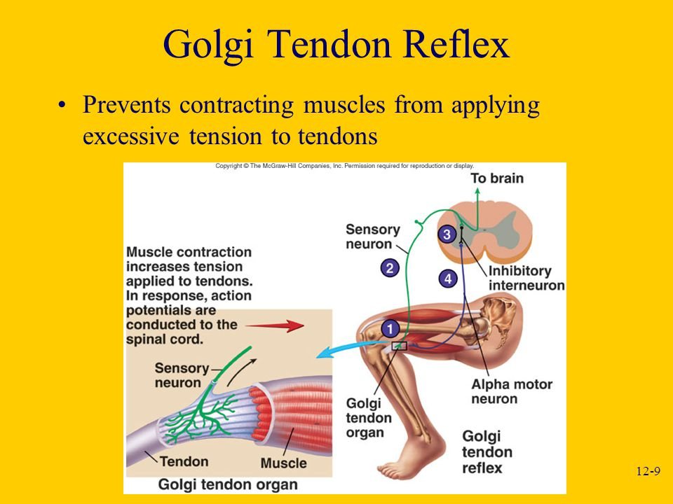 Golgi Tendon Reflex Prevents contracting muscles from applying excessive tension to tendons