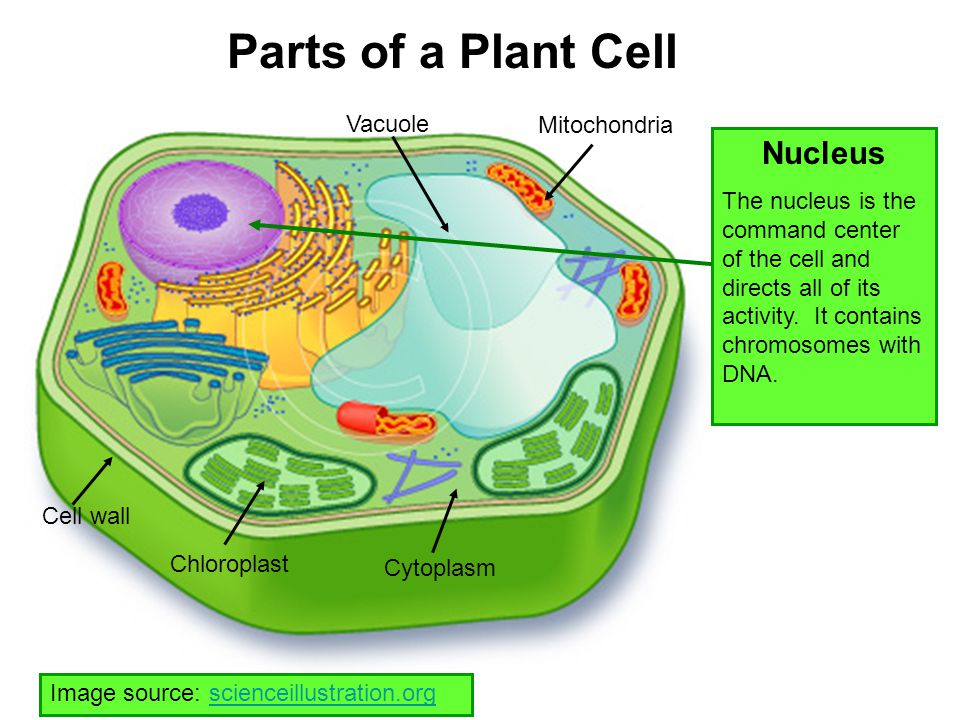 Parts of a Plant Cell Nucleus Vacuole Mitochondria