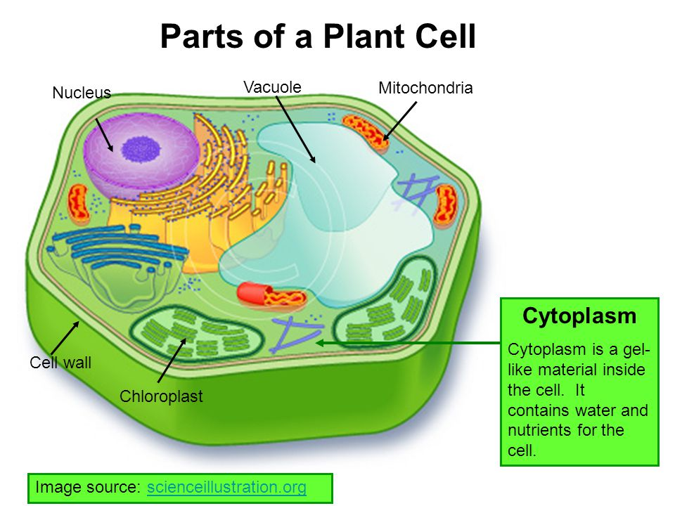 Parts of a Plant Cell Cytoplasm Vacuole Mitochondria Nucleus