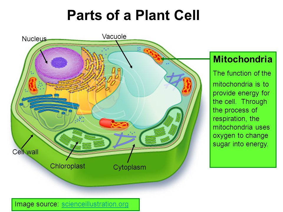 Parts of a Plant Cell Mitochondria Vacuole Nucleus