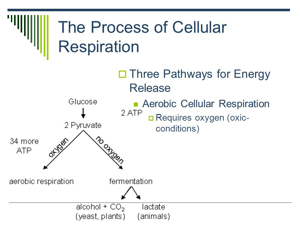 Cellular Respiration Releases Energy from Organic Compounds - ppt ...