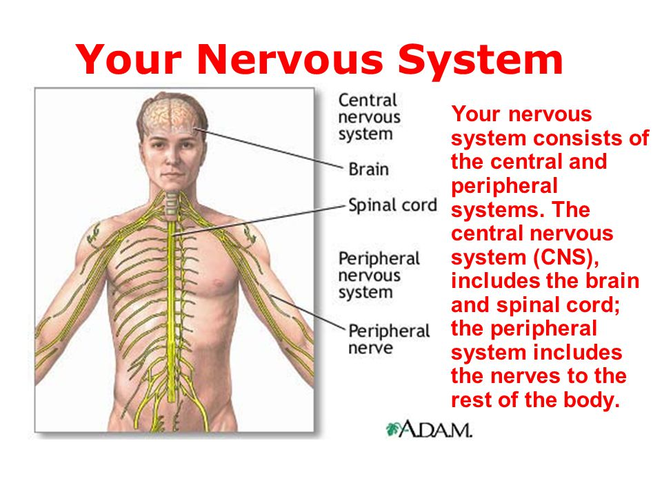 the central nervous system consists The central nervous system is composed of millions of nerve and glial cells, together with blood vessels and a little connective tissue the nerve cells, or neurons, are characterized by many processes and are specialized for reception and transmission of signals the glial cells, termed neuroglia .