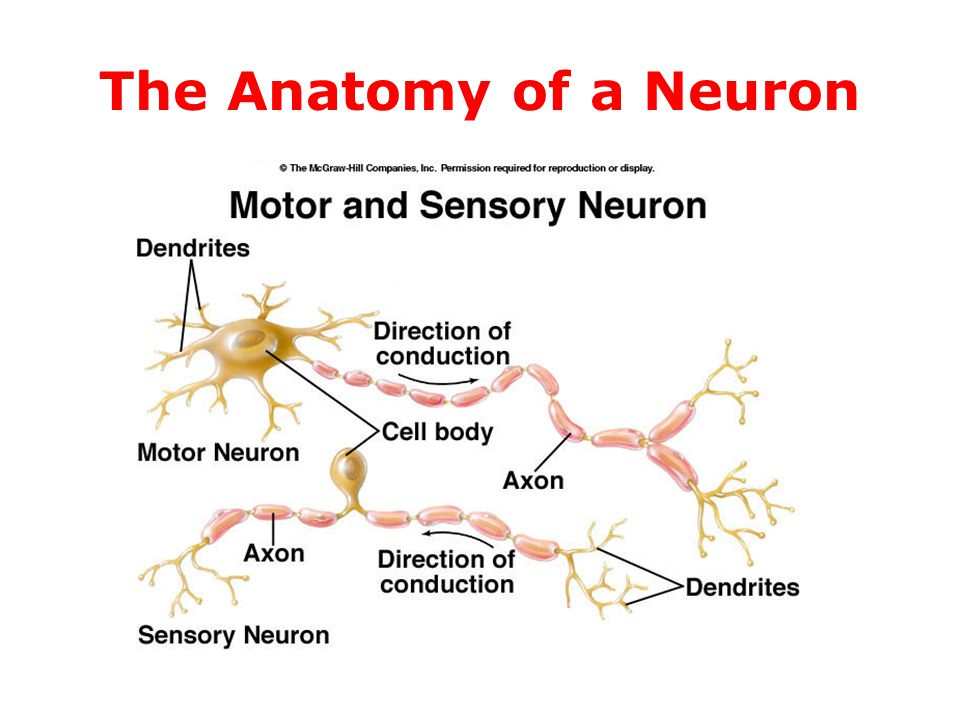 Modern The Anatomy Of A Neuron Images - Anatomy And Physiology ...