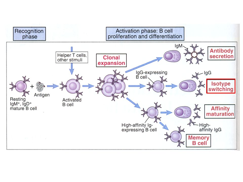 PHASES OF B CELL RESPONSE