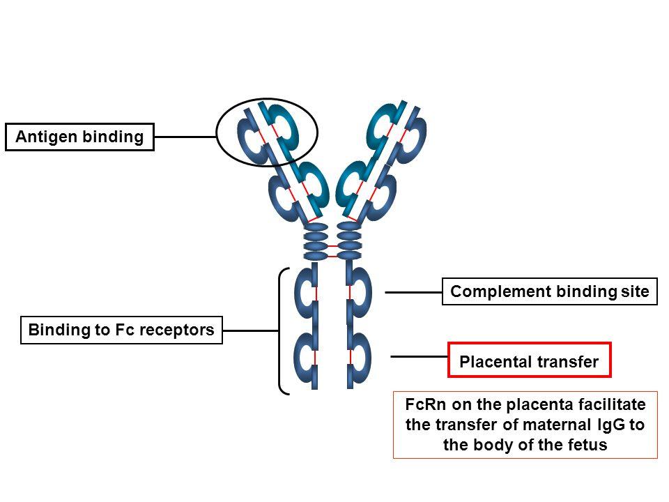 Complement binding site Binding to Fc receptors