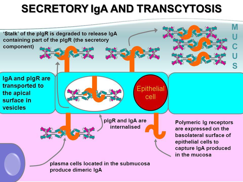 SECRETORY IgA AND TRANSCYTOSIS