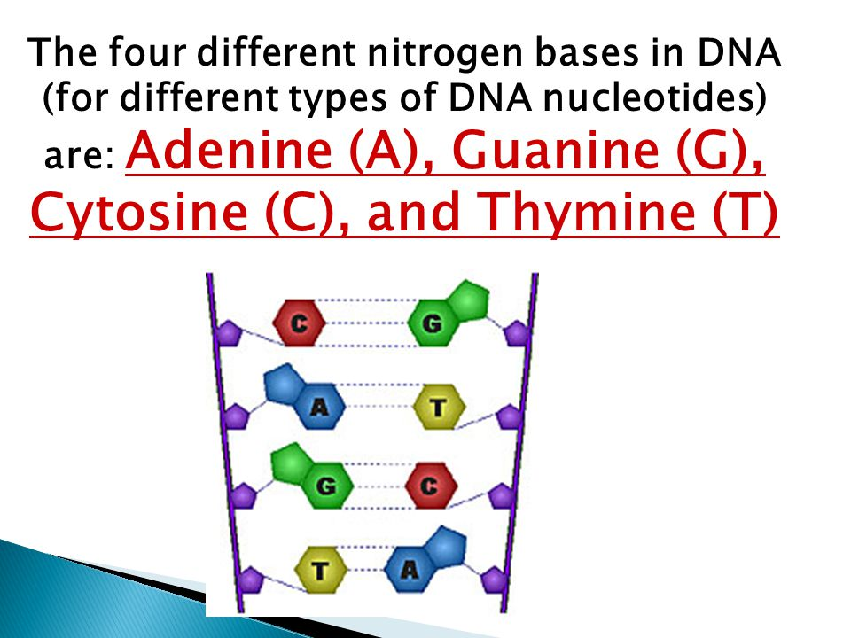 the four nitrogen bases of dna Each strand of dna is made of chemicals called bases note that these are  different to bases in relation to acids and alkalis in chemistry there are four  different.