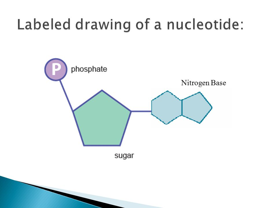 labeled diagram of nucleotide choice image how to guide