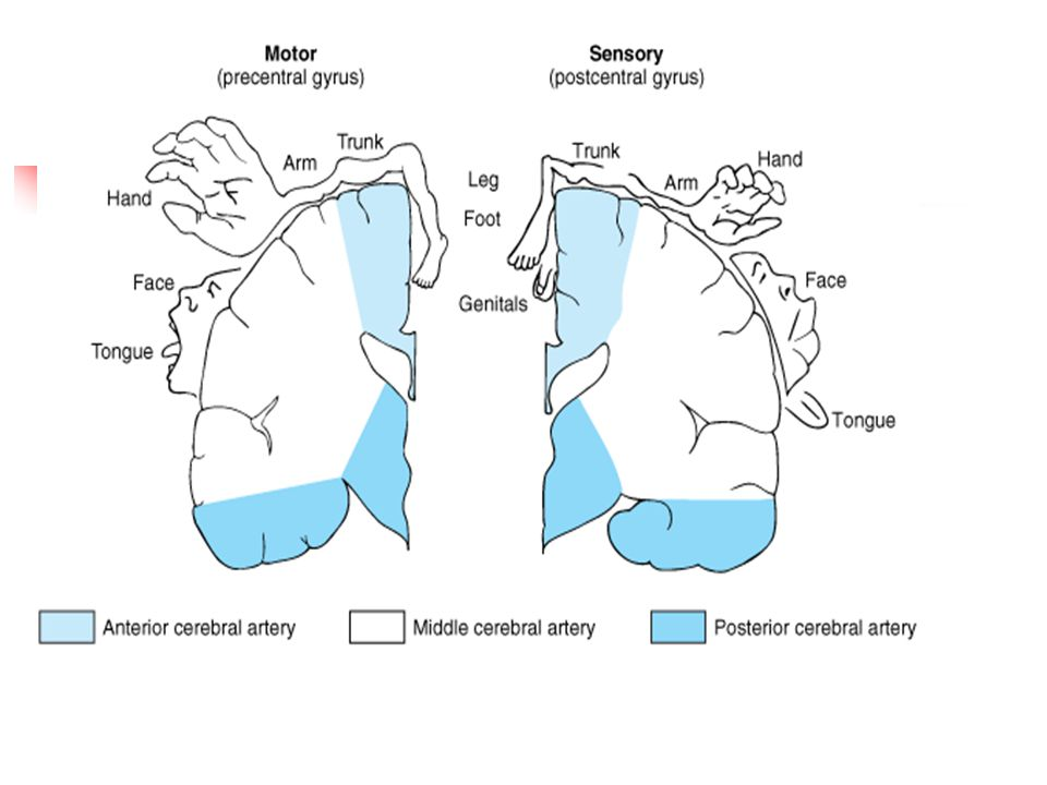 Arterial supply of the primary motor and sensory cortex (coronal view)