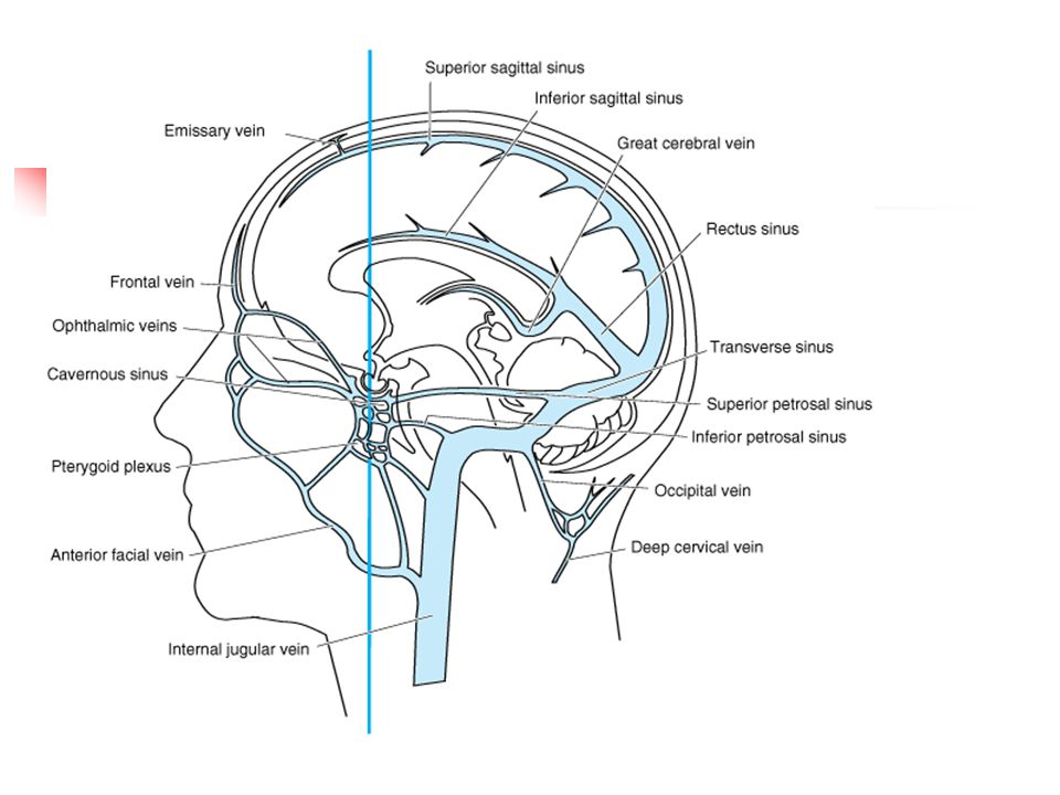 Organization of veins and sinuses of the brain