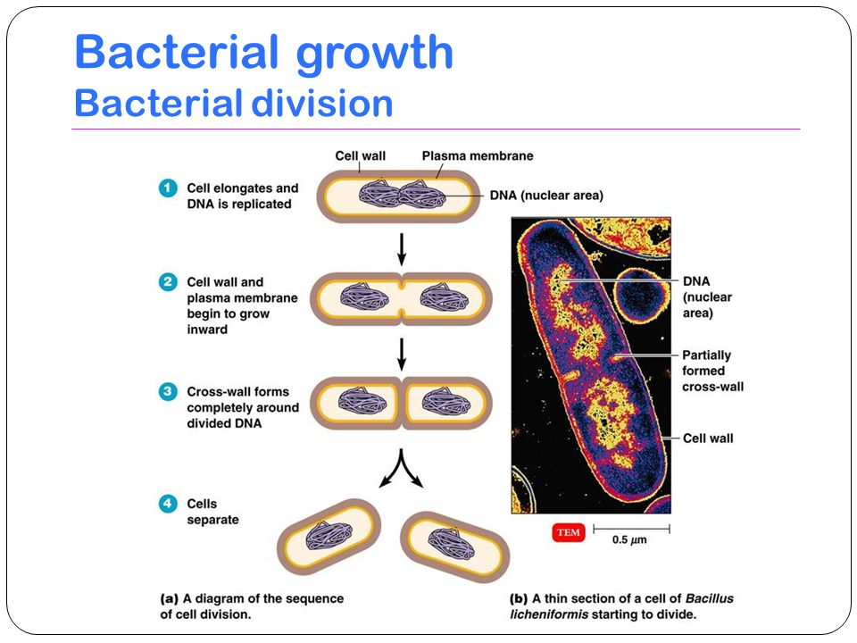 Bacterial growth Bacterial division