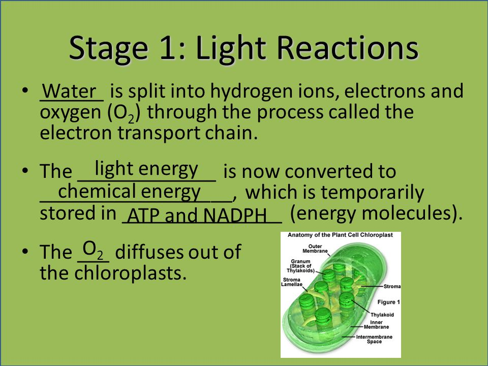 Stage 1: Light Reactions