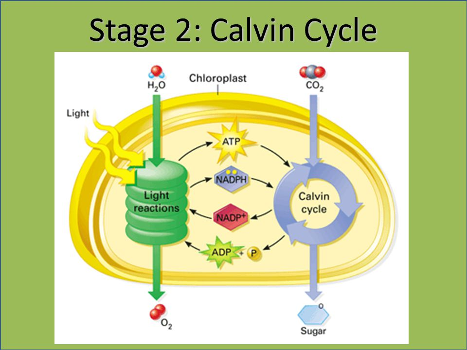 Stage 2: Calvin Cycle 20