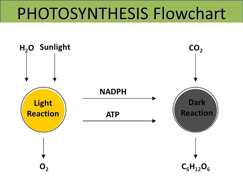 PHOTOSYNTHESIS Flowchart