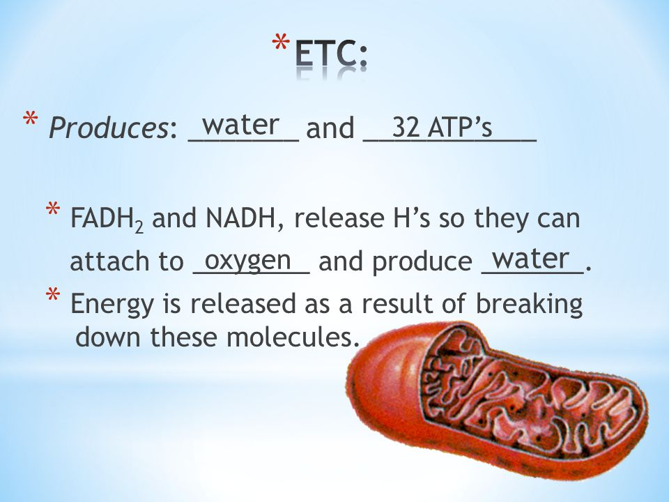 ETC: water Produces: _______ and ___________ water 32 ATP's