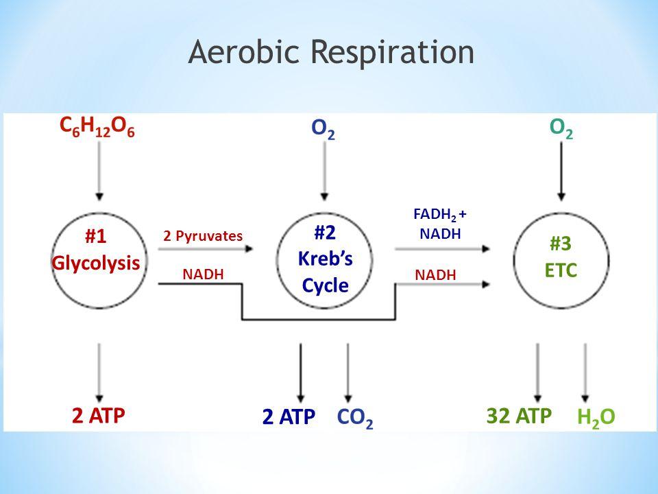 Aerobic Respiration 2 ATP 2 ATP 32 ATP #2 #1 #3 Kreb's Glycolysis