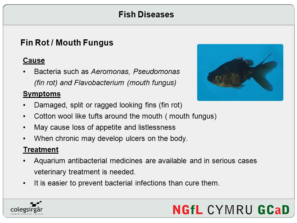 Presentation on fish diseases ppt video online download for Fish bacterial infection