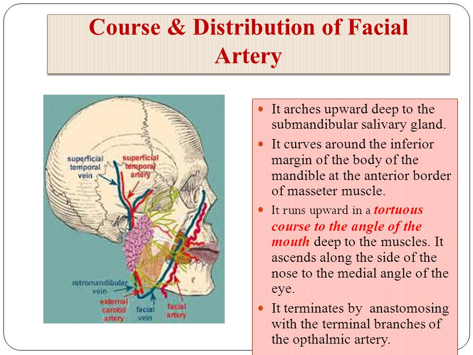 Clinical Anatomy of the Face - ppt video online download