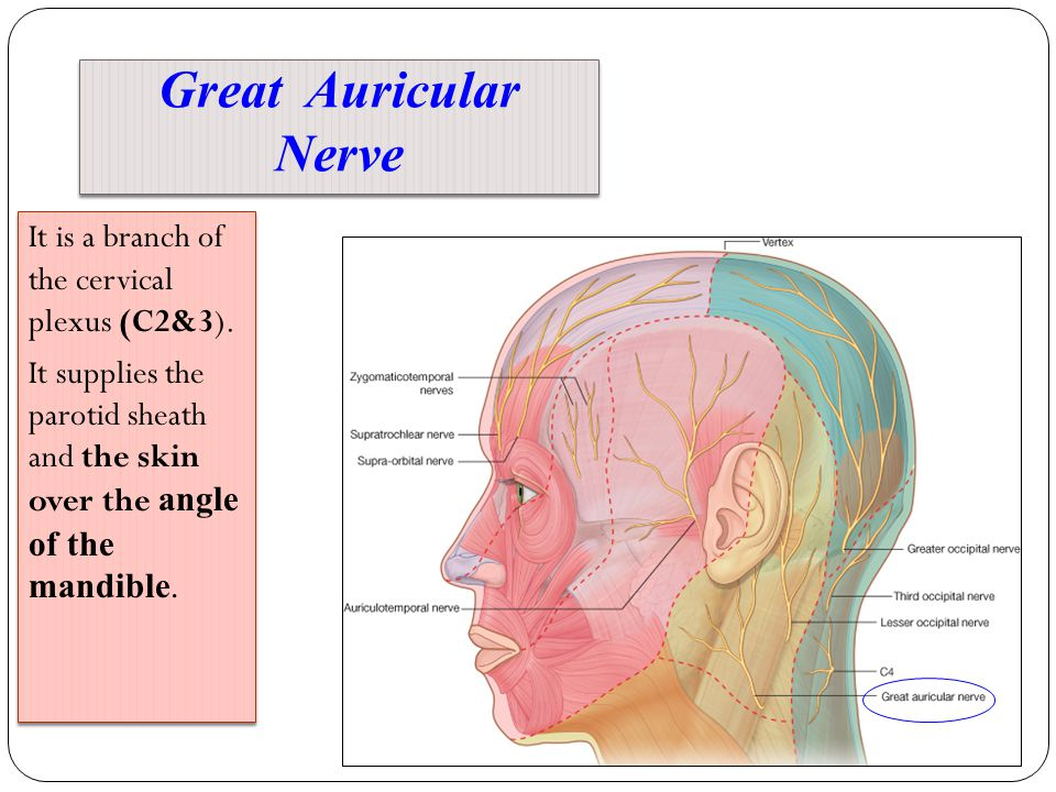 Greater occipital nerve anatomy 3001679 - follow4more.info