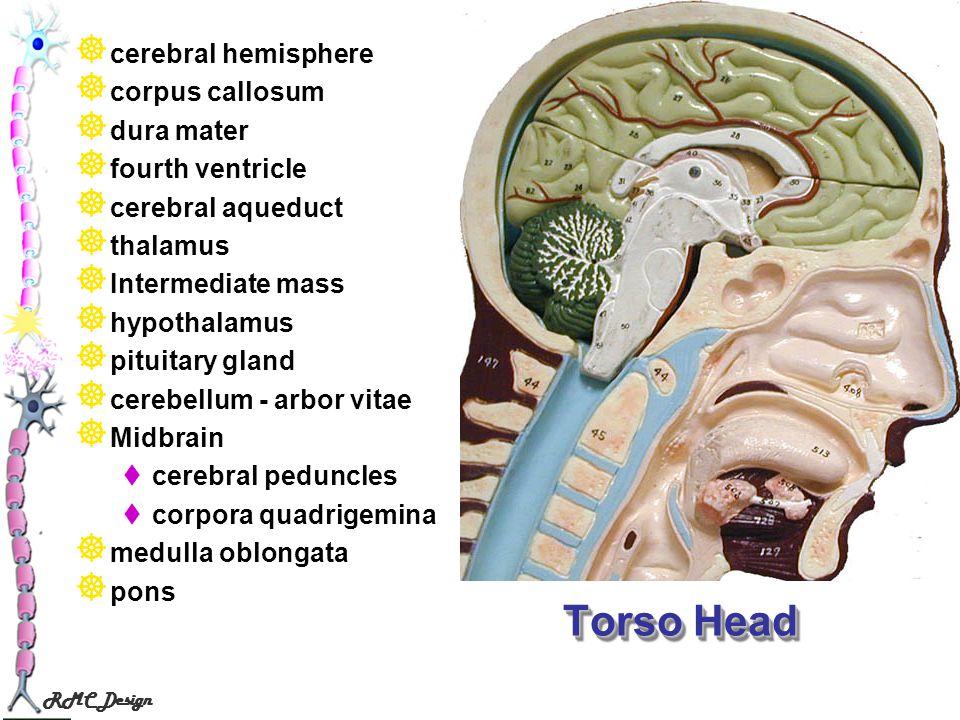 Torso Head cerebral hemisphere corpus callosum dura mater