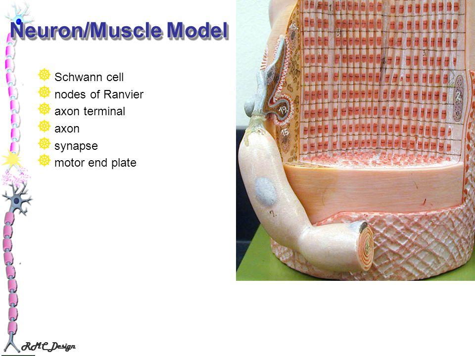 Neuron/Muscle Model Schwann cell nodes of Ranvier axon terminal axon