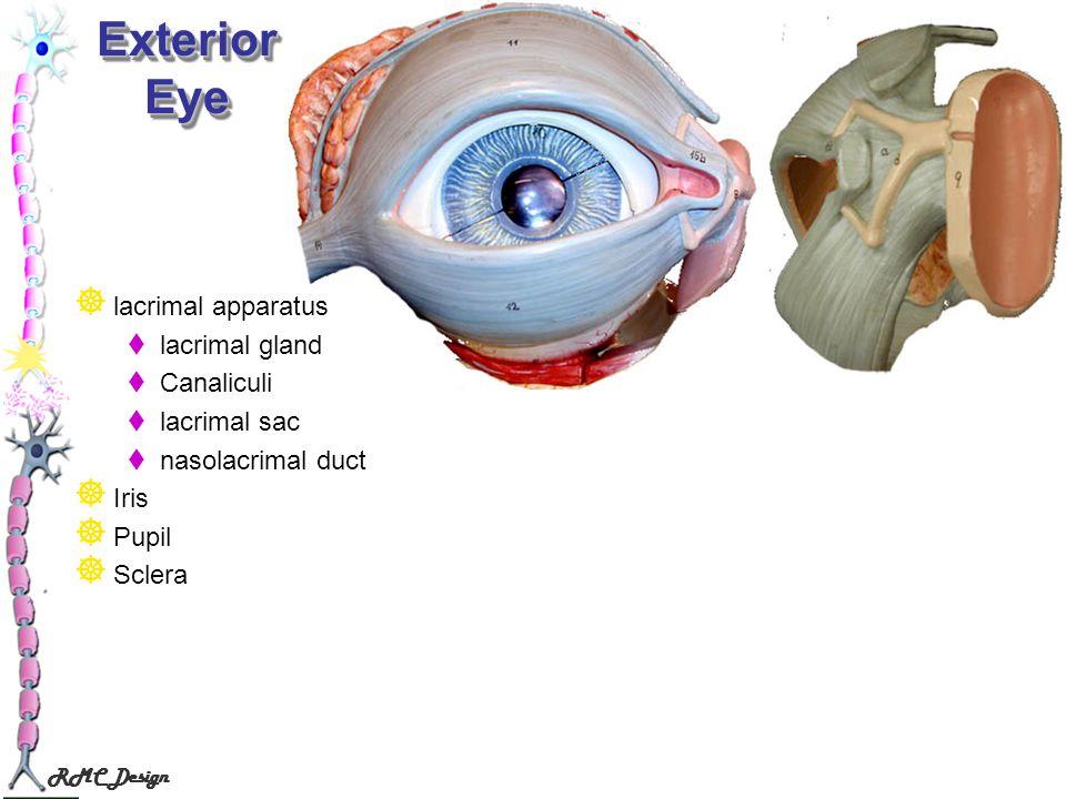 Exterior Eye lacrimal apparatus lacrimal gland Canaliculi lacrimal sac