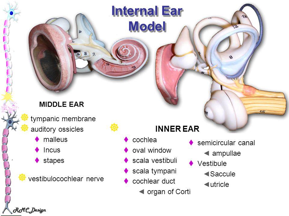 Internal Ear Model INNER EAR MIDDLE EAR tympanic membrane