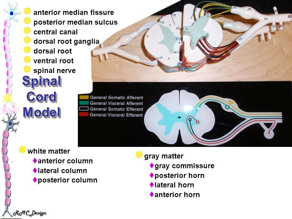 Spinal Cord Model anterior median fissure posterior median sulcus