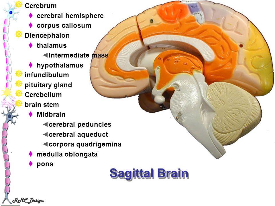 Sagittal Brain Cerebrum cerebral hemisphere corpus callosum