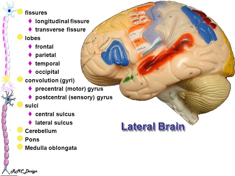 Lateral Brain fissures longitudinal fissure transverse fissure lobes