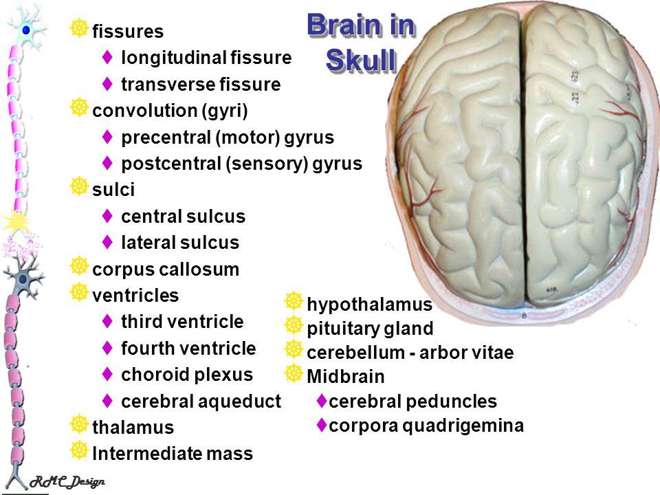 Brain in Skull fissures longitudinal fissure transverse fissure
