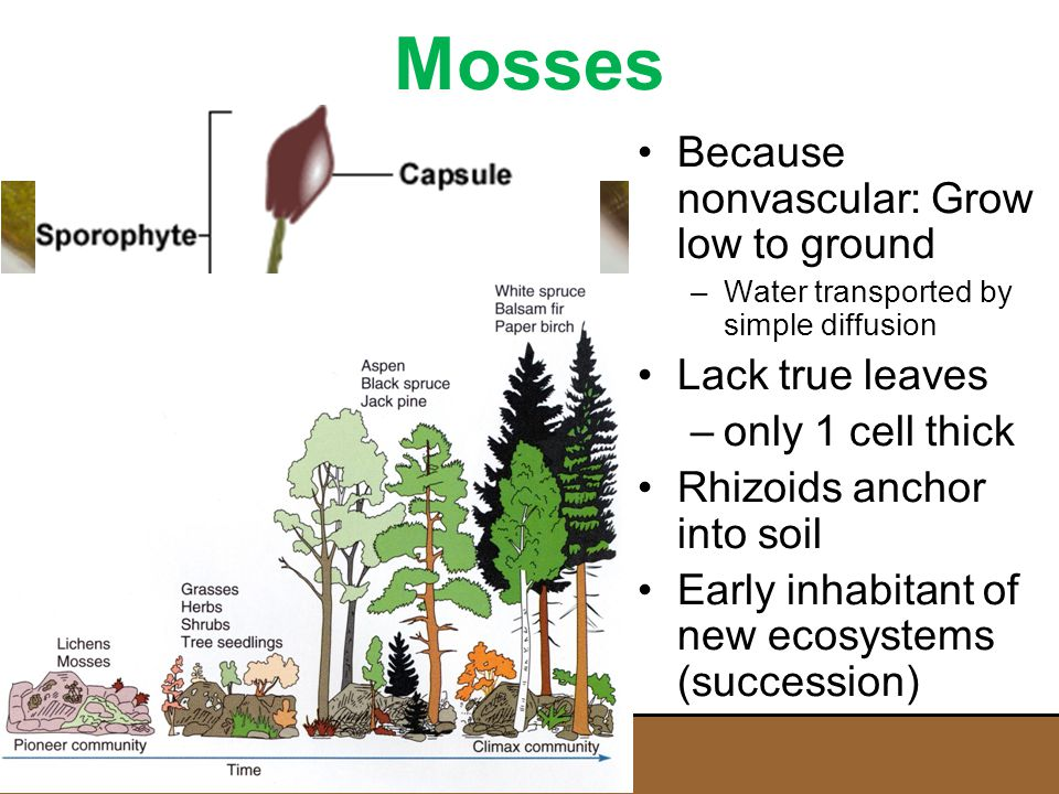 Mosses Because nonvascular: Grow low to ground Lack true leaves