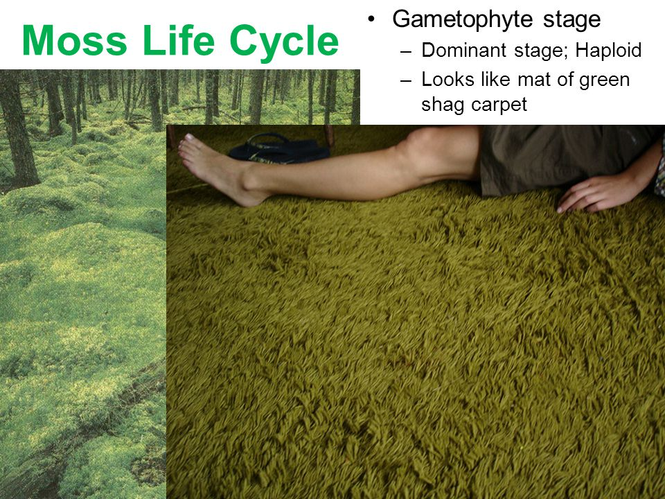 Moss Life Cycle Gametophyte stage Dominant stage; Haploid