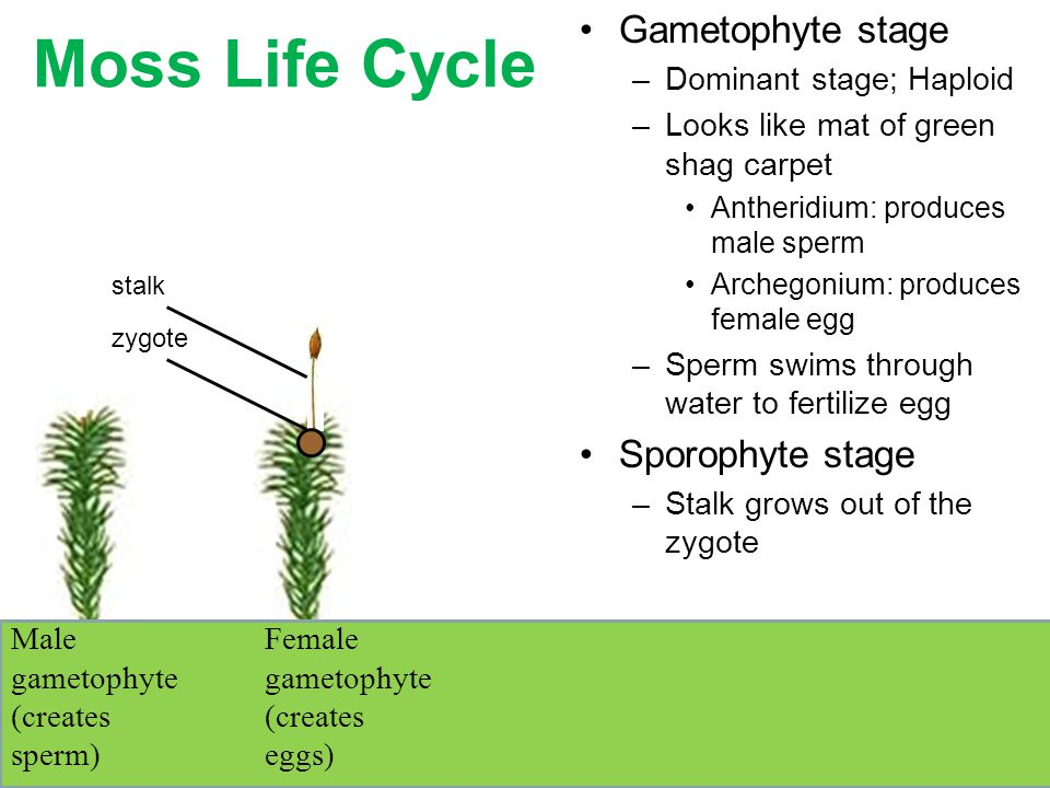Moss Life Cycle Gametophyte stage Sporophyte stage