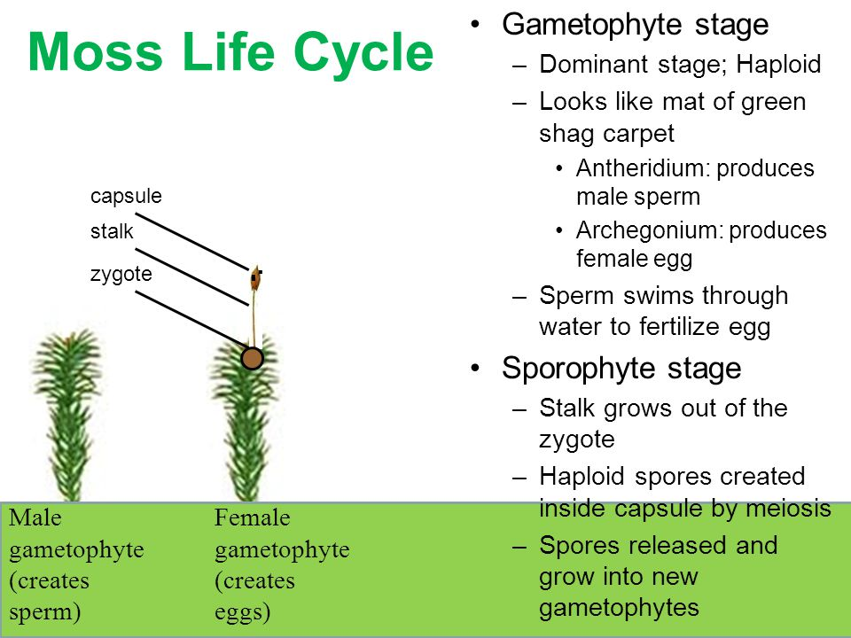 gametophyte stage - photo #17