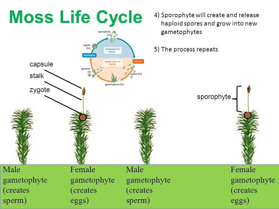 Moss Life Cycle Male gametophyte (creates sperm)