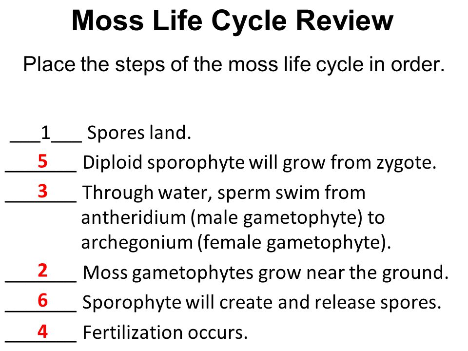 Place the steps of the moss life cycle in order.